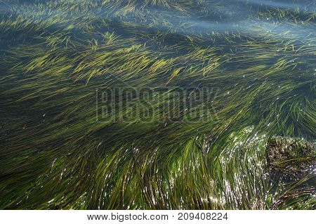seaweed among the waves, grass on the coast
