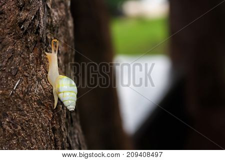 The yellow snail on the tree in the garden in Thailand.