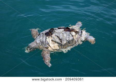 Dead green turtleChelonia mydas floating in the ocean