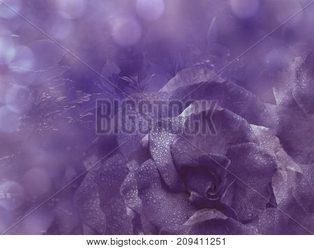 Floral violet background from rose. Flowers composition. A flower of a purple rose on a transparent blue background bokeh. Close-up.