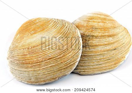 brown clam shells isolated on white background