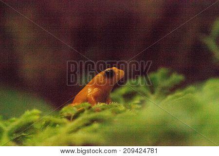 Golden Mantella Frog Mantella Aurantica