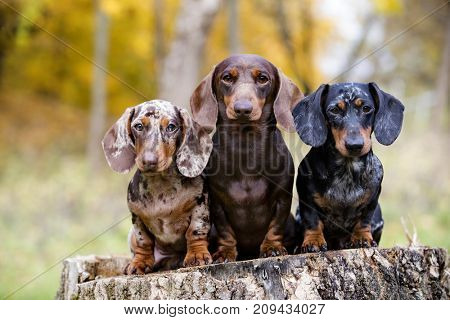 dachshunds on the background of the autumn park