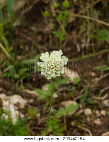 Cream Pincushions or Scabious Scabiosa Ochroleuca flower close-up selective focus shallow DOF.