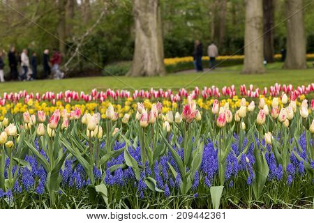 colorful tulips and grape hyacinth blooming in a garden