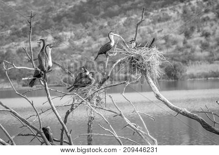 White-breasted Cormorants Sitting In A Tree.