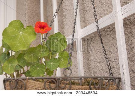 It is image of balcony plant Nasturtium