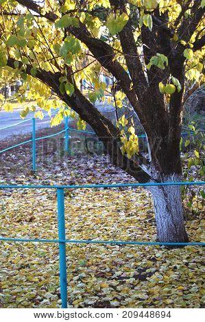 Autumn apricot tree and golden fallen leaves at a rural dooryard. Autumn mood.