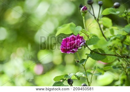 Pink rose blooming in summer garden green copy space