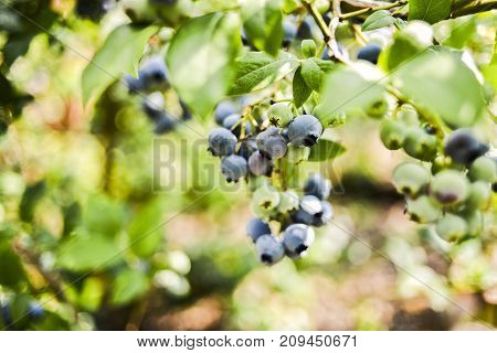 Bilberry growing on a bush in the garden in summer.