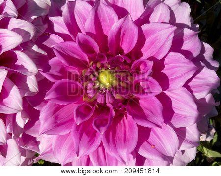 beautiful leaves of the dalia  flower, fragile,
