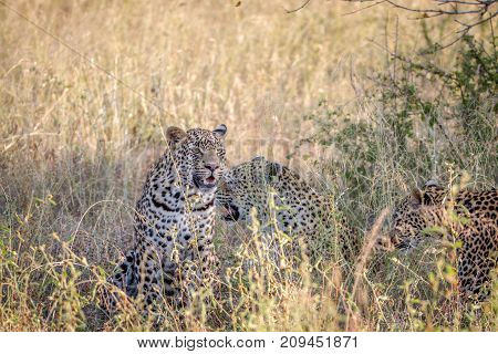 Mother Leopard And Cubs In The High Grass.