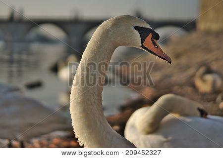 Detail of a swan on the river Vltava in Prague