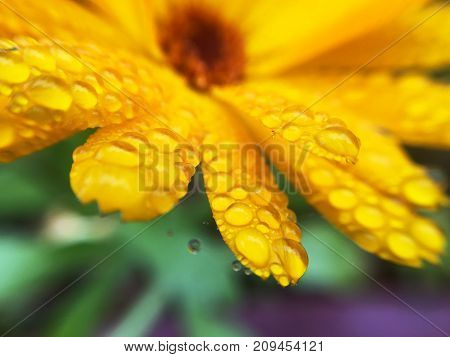 Calendula officinalis close-up with water drops in autumn