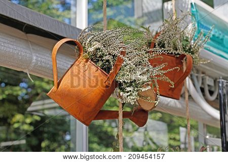 White heather in a hanging rusty watering can
