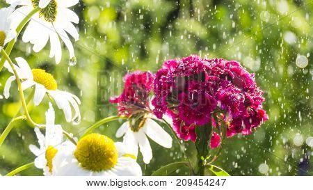 rainy Dianthus barbatus flowers in the garden