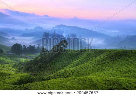 Early sunrise at tea farm, Sungai Palas Estate, Cameron Highland, Pahang Province, Malaysia, Southeast Asia, Asia