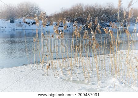 the reeds growing near the shore of the frozen river