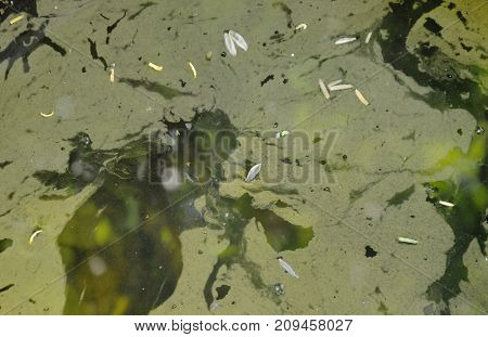 aquatic weed stain floating on water surface in pool