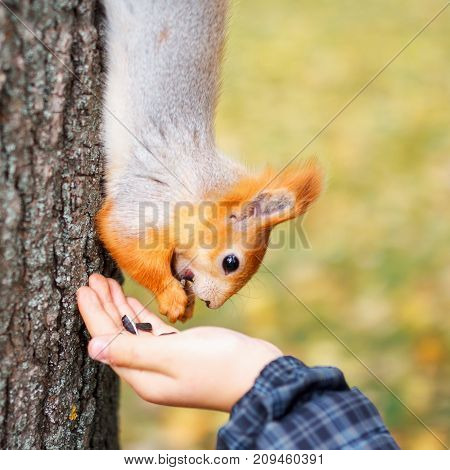 Squirrel Eats From The Wood In The Forest. A Man Is Feeding A Sq