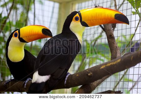 Toco Toucan is on the tree