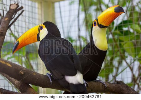 Toco Toucan is on the tree .