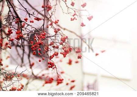 Bright Red Rowan berries on a tree having no leafs autumn