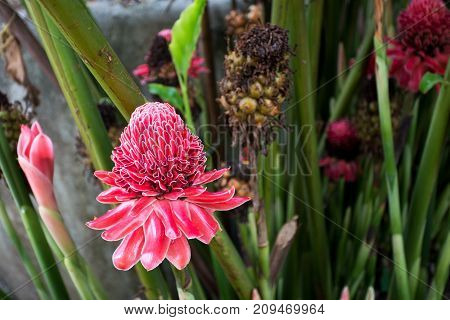 red Ginger flower close up in thailand
