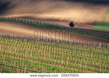 Rows of Vineyard Grape Vines. Spring landscape with green vineyards. Grape vineyards of South Moravia in Czech Republic.