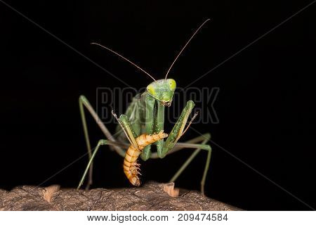 A very close photograph of a praying mantis feeding on a meal worm