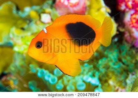 Red Saddleback Anemonefish (amphiprion Ephippium)