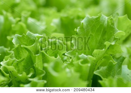 Green Plants Of Lettuce Grow In The Garden