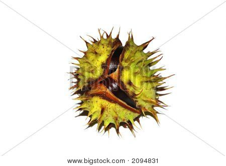 Chestnut With Shell