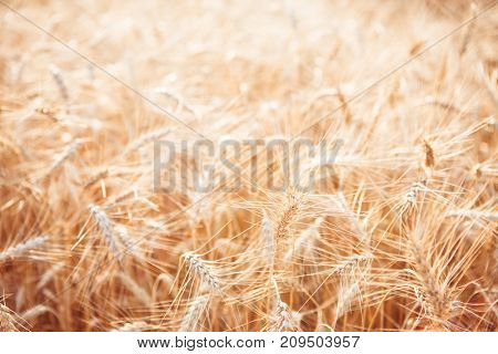 Toned image of rye field in summer