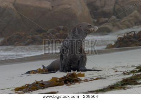 Old Sea Lion On The Beach