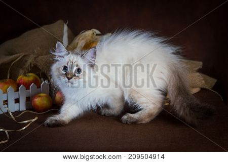 Purebred beautiful Neva masquerade cat, kitten on a brown background. Harvest of autumn vegetables and fruits in baskets as decoration