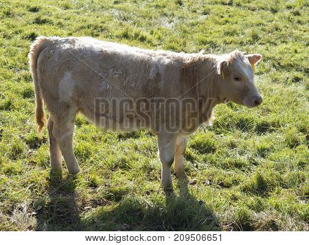 Cute Shaggy Beige Calf Profile Standing On The Grass Pasture In Golden Light