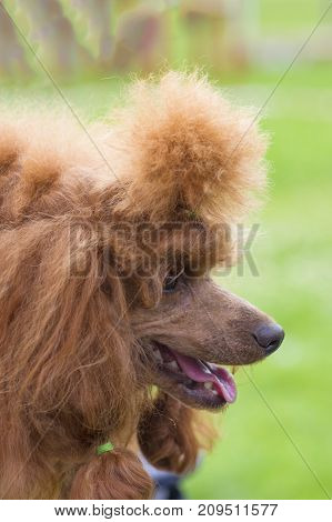 Red-haired poodle dog, profile lighted by the sun, combed and cut, braided plaits. Space under the text. 2018 year of the dog in the eastern calendar Concept: parodist dogs, dog friend of man, true friends, rescuers.