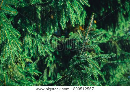 Fir Tree Brunch Close Up. Shallow Focus. Fluffy Fir Tree Brunch Close Up. Christmas Wallpaper Concep