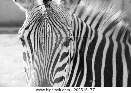 zebra in the zoo . In the park in nature