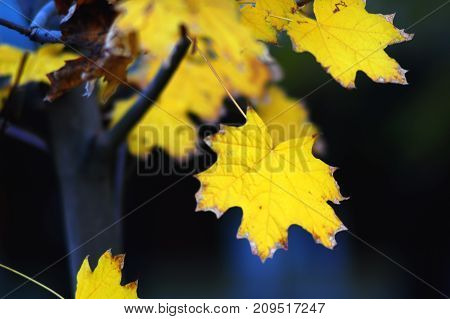 Golden maple leaves close-up on the dark background with colorful glares at the evening. Selective soft focus, bokeh.