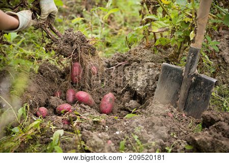Closeup of woman's hands with vegetables. Digging potatoes with shovel on the field from soil. Havest in autumn