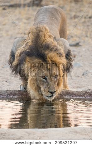 A male lion drinking in the Kgalagadi Transfrontier Park which straddles South Africa and Botswana.