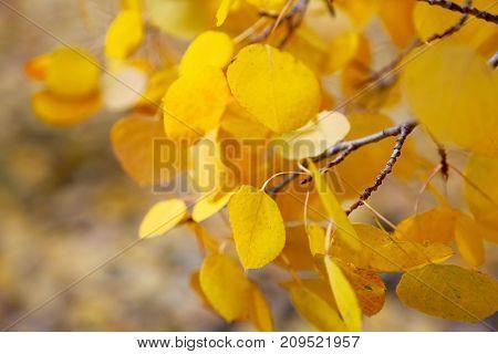 Golden leaves of Aspen trees in Silverton, Colorado