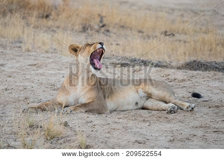 A yawning lioness in the Kgalagadi Transfrontier Park which straddles South Africa and Botswana.