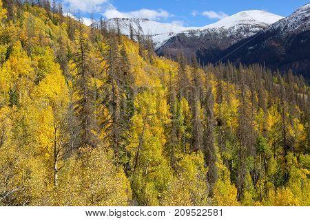 Fall Foliage over the mountains of Silverton, Colorado