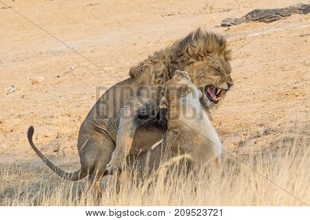 A pair of lions mating in the Kgalagadi Transfrontier Park straddling South Africa and Botswana.
