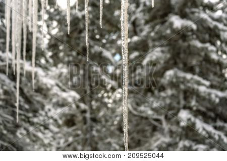 Beautiful abstract natural background with long transparent icicles hanging from the roof against the background of green fir trees in the snowy forest