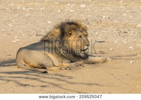 A magnificent male lion resting in the Kgalagadi Transfrontier Park straddling South Africa and Botswana.