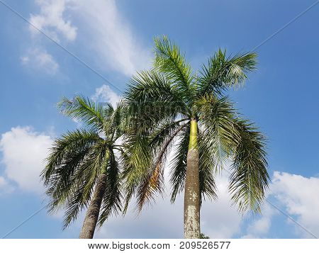 Low angle view of tropical palm trees against blue sky and white clouds
